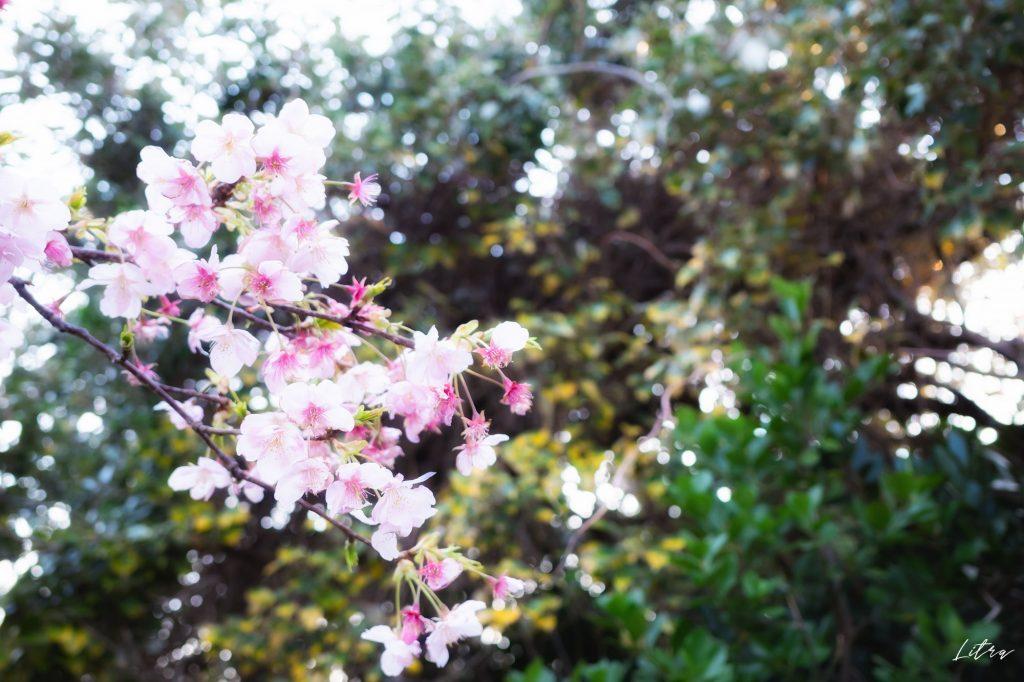 階段脇にある桜